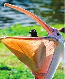 O Pelicano Distribuidora Pelícano engulle ...