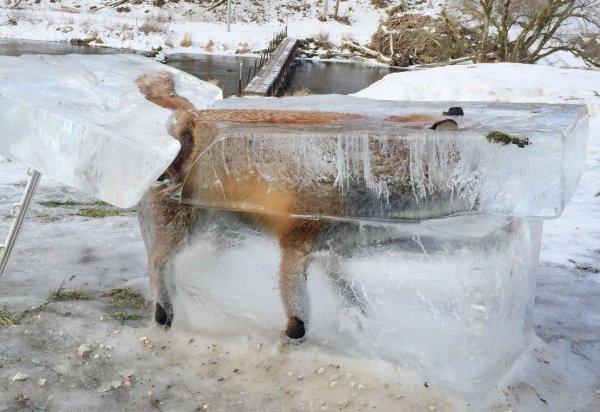 zorro-congelado-5