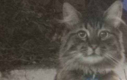 gato-perdido-loki-crop